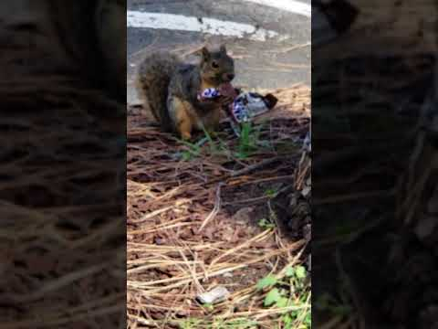 Monet Sutton - Weekly Dose of Cuteness: Squirrel Eating Snickers