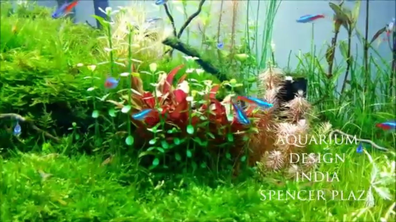 Aquarium fish tank in chennai - Moss Tank First Time In Chennai Design By Jabbar Aquarium Design India Spencer Plaza Youtube