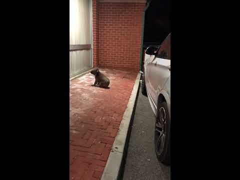 Koala Walks Into an Adelaide Restaurant