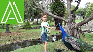 Эдам кормит павлинов и других птиц / Feeding Peacocks and other birds.