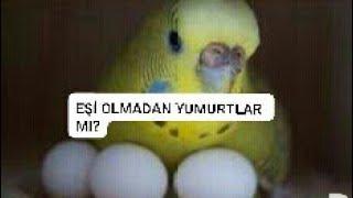 Eşi olmayan kuş yumurtlar mı ?