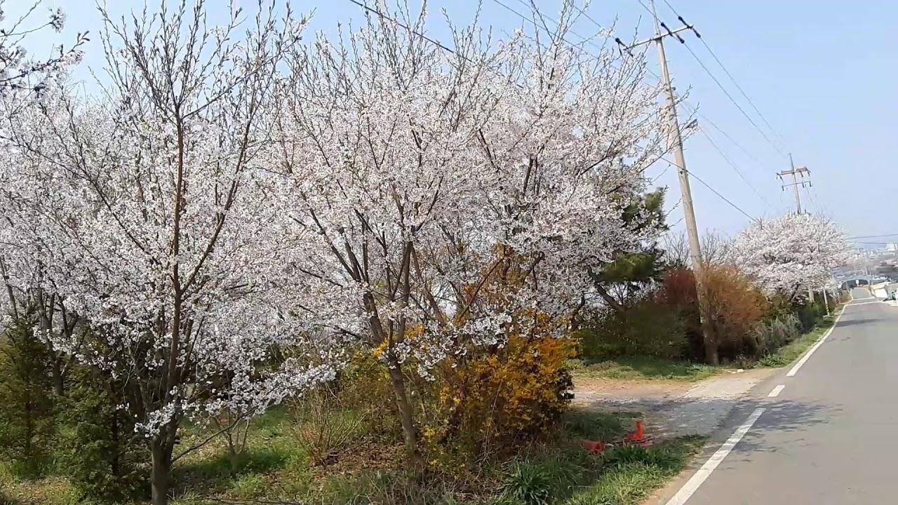 서산 벚꽃 터널 코로나19 시대
