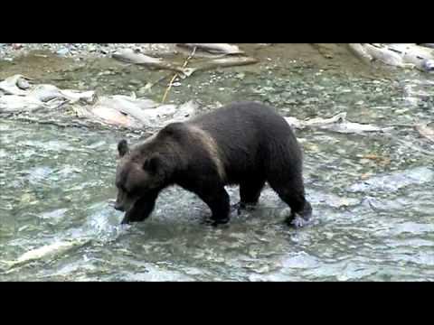 Beren die zalm vissen in Stewart (Canada) & Hyder (Alaska) in 2004