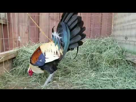 Golden Grey / McRae Bull Stag Gamefowl Pens - Gallos Finos Roosters