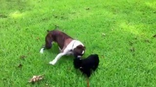 Boxer And Pomeranian Pups Playing 1