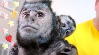 Monkey Taste Test | Strawberry or Banana Puffs!?