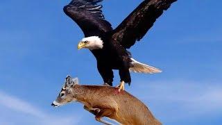 ОРЁЛ В ДЕЛЕ Нападения орла на волка собаку кенгуру ЧЕЛОВЕКА