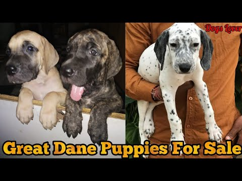 Harley Quinn Great Dane Puppies For Sale Top Quality Puppies