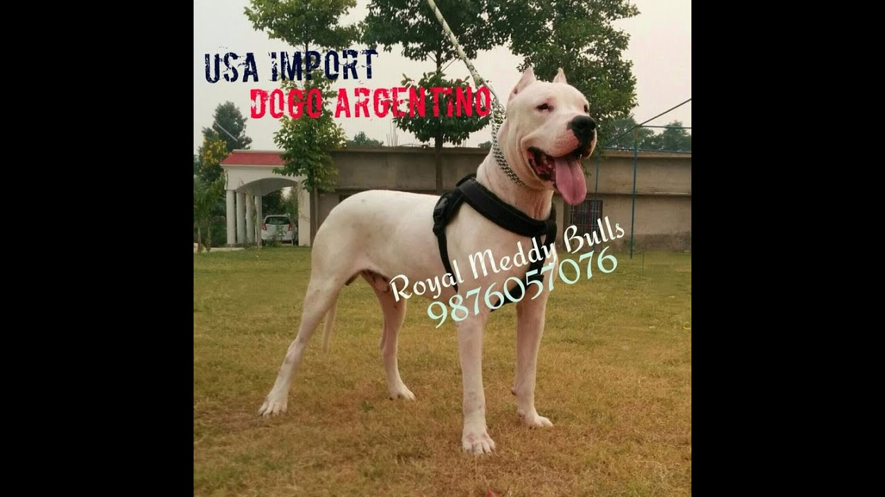 dogo argentino pups for sale champion line , dogs for sale , dog breeder in  india 9876057076
