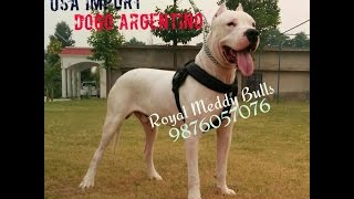dogo argentino pups for sale champion line , dogs for sale , dog breeder in india