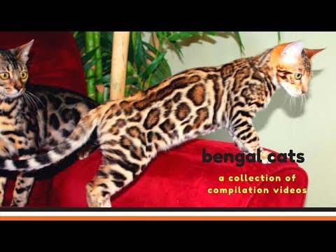 Bengal Cats Are Cute Moment 💖 Videos Compilation 2018 💖 Animals Funny