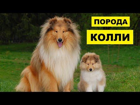 Собака Колли плюсы и минусы породы   Собаководство   Порода Колли