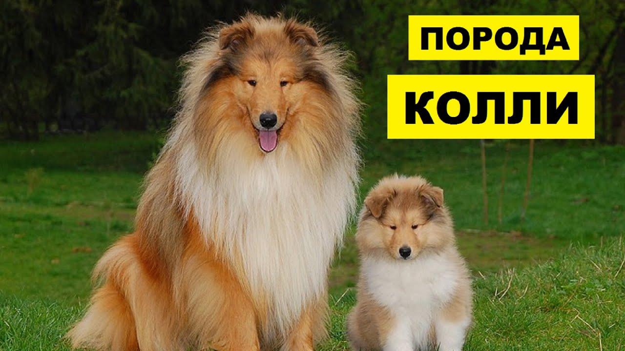 Собака Колли плюсы и минусы породы | Собаководство | Порода Колли