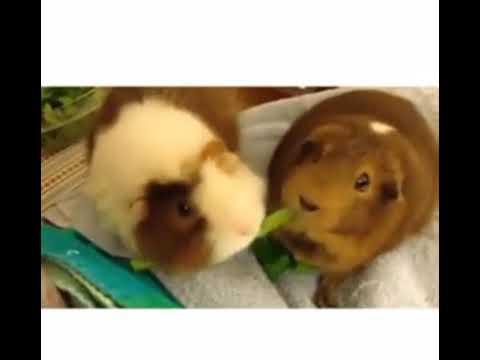خوکچه همستر های بانمک