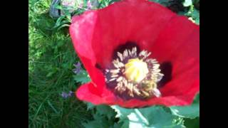 Poppies Love Honey Bees