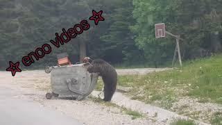 Medvjed HILMO na Igmanu - Sarajevski Begluk  2021.