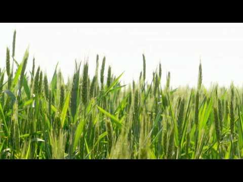 Зерновые культуры Запорожский юг Часть 1