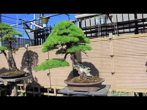 bonsai journey japan. seeking light part 3.
