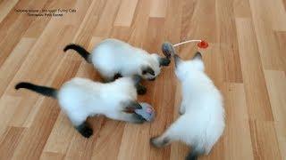 Как тайские котята играли игрушечной чирикающей мышкой и другими игрушками! Тайские кошки   это чудо