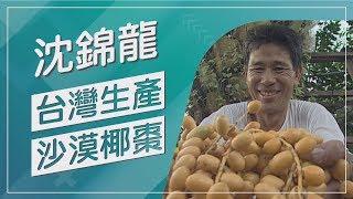 【草地狀元經典重現】你有吃過椰棗嗎!?生命之果台灣出產