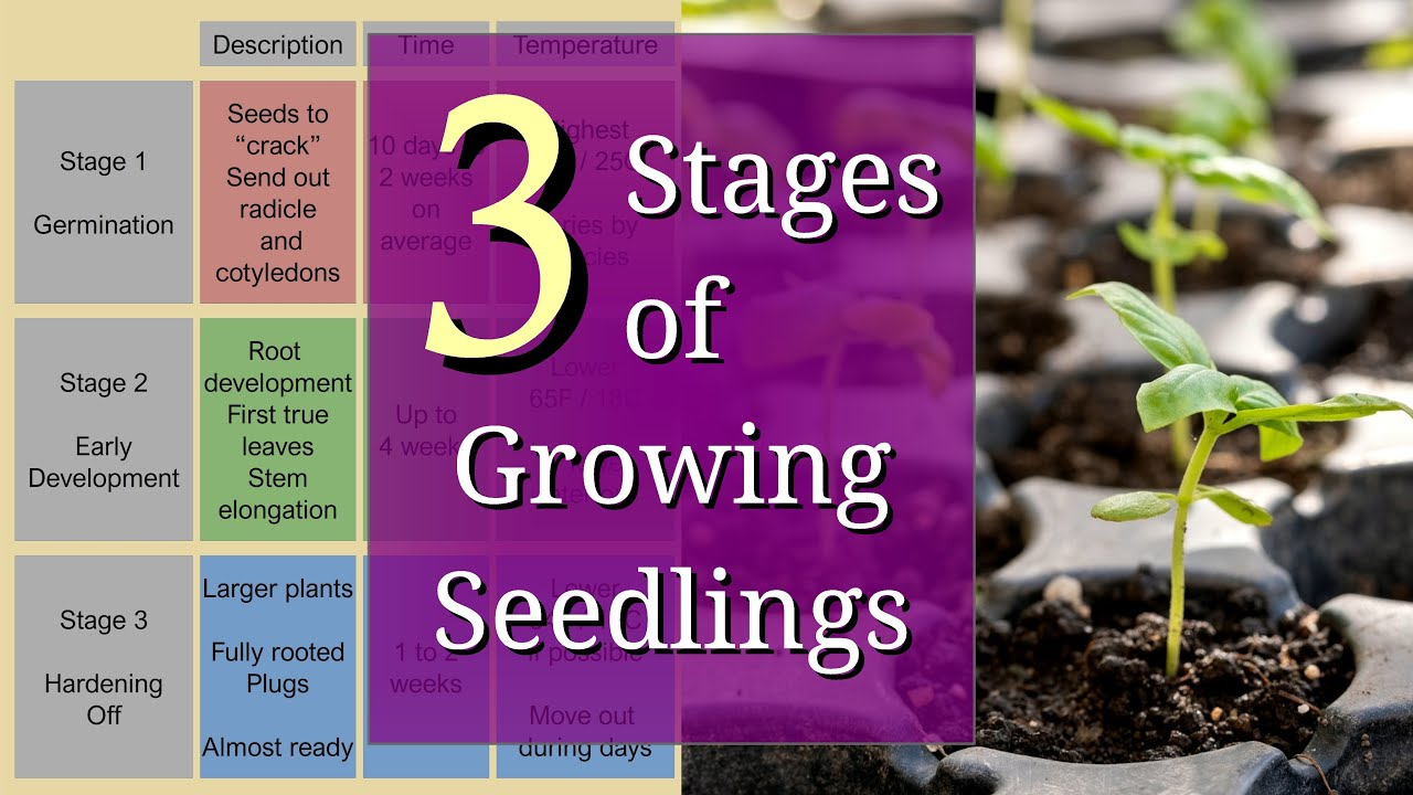 Download 3 Stages of Growing Seedlings for Beginners