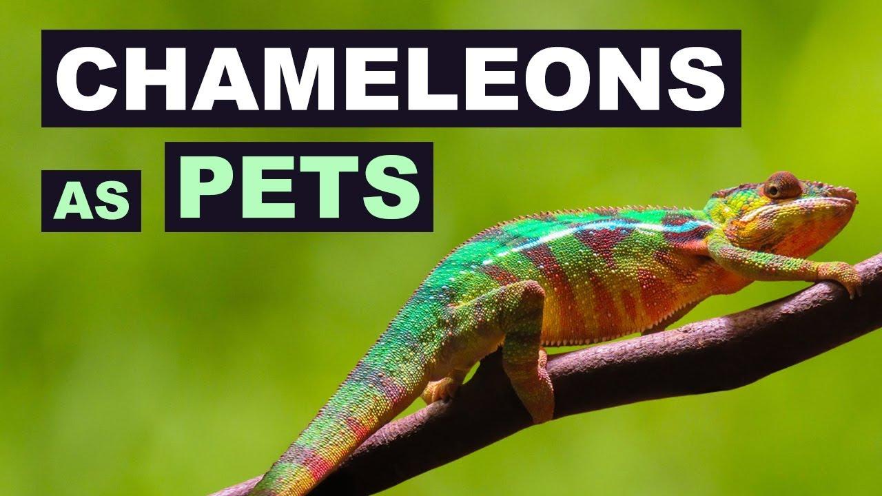 Chameleons As Pets What Are Chameleons Like As Pets Chameleons As Pets Pros And Cons Youtube