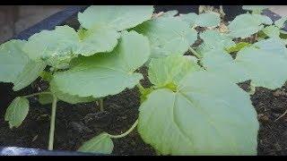 Hướng dẫn trồng đậu bắp . Kakaka | Khoa Hien 68