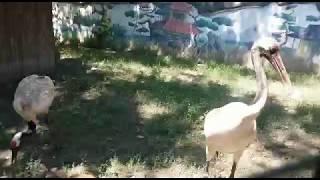 Краснокнижный японский журавль в краснодарском