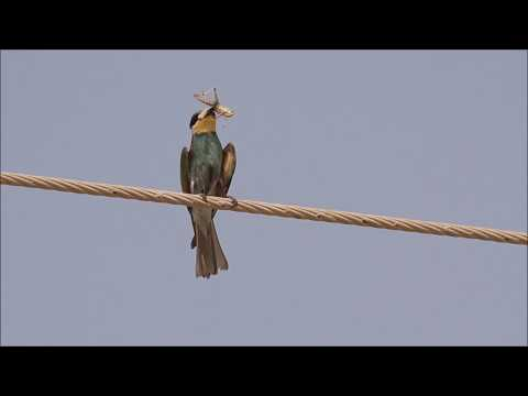 Bee-eater killing locust
