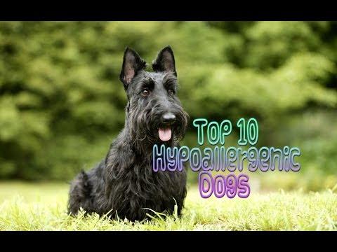 Top 10 Hypoallergenic Dogs