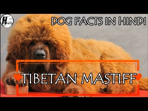 Tibetan Mastiff Dog Facts | Hindi | INDIAN DOG BREEDS | HINGLISH FACTS