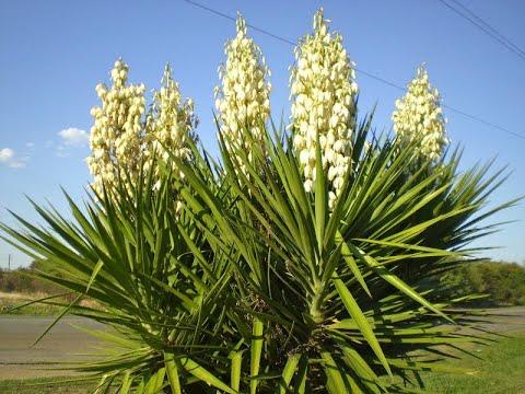 Вопрос: Юкка пальма и юкка куст это одно растение?