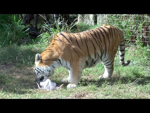 Tigers and Turkeys: A Love Story