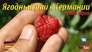 Как собирают клубнику, черешню, малину или ягодный рай в Германии. Жизнь в Германии