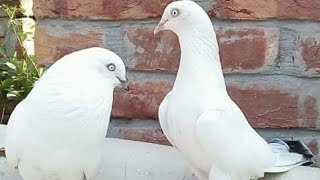 Main Zafar Abbas bahtti of pindi bahttian ka pigeons kabootar ..