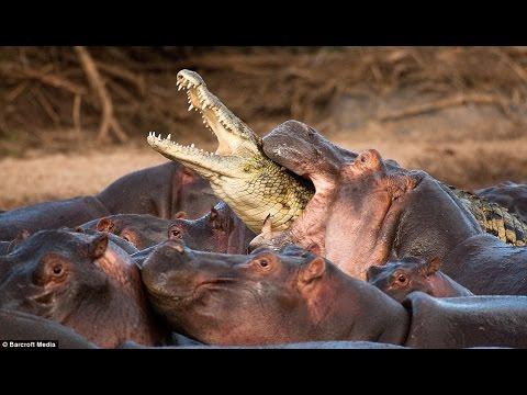 Hippo Attack Crocodile , Hippo Kill Crocodile