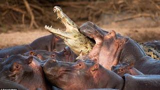 hippo attack crocodile hippo kill crocodile