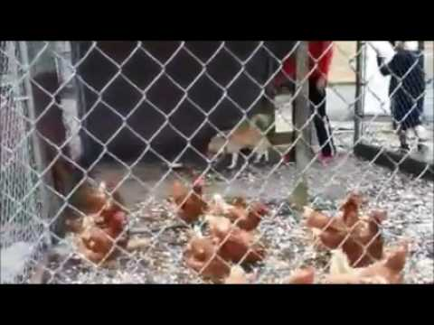Training Your Dog Not To Chase Chickens