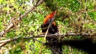 ไก่ป่า-Red junglefowl 2011  3/4