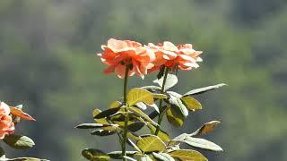 Bear's Roses