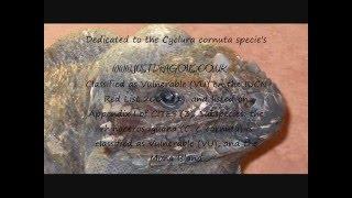 My Rhino iguana's (Cyclura cornuta) Demon and his 2 girls from justdragons stunner's