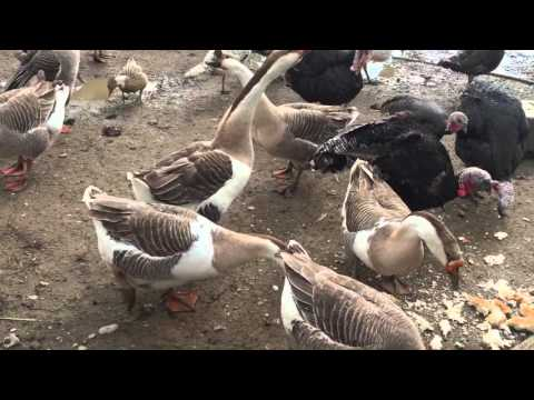 Chicken Resort - Shota, Gusa dhe Qura