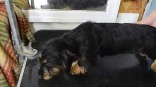 Black/tan Wire Coat, Miniature Dachshund
