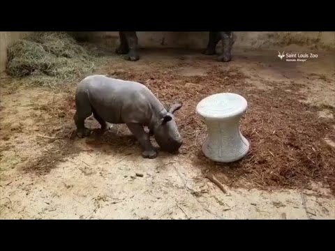 Watch as Baby Rhino Practices His Intimidating Charge