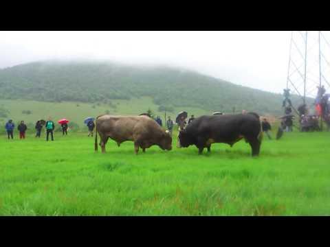 GOLUB (Tubici)---KUKAN (Kinija) 25.5.2015