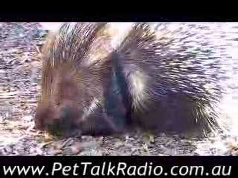 Meet Agra The Porcupine