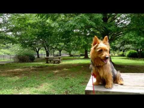 MAX Australian terrier