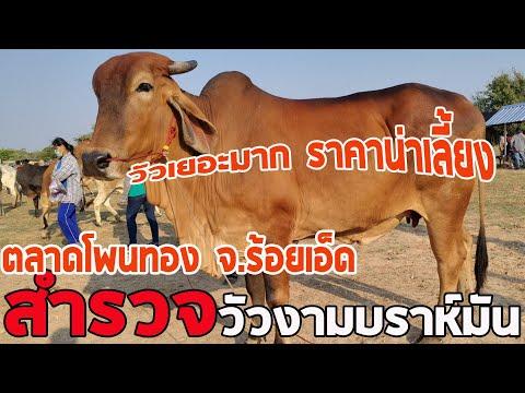 วัวต้นน้ำดีๆ ราคาถูกๆ มีที่นี้เลยครับ ตลาดโพนทอง(17ก.พ.64)อ.โพนทองร้อยเอ็ด
