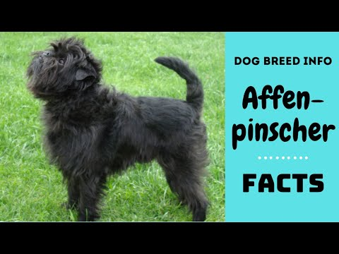 Affenpinscher dog breed. All breed characteristics and facts about affenpinscher