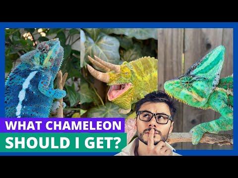 Which Chameleon Should I Get?